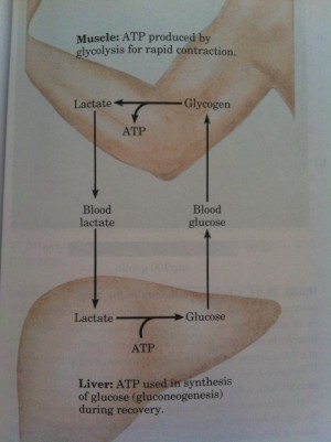 muscle atp