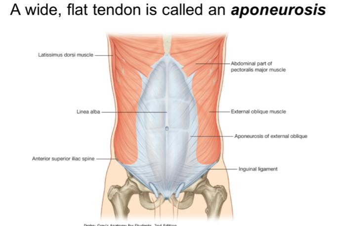 A wide, flat tendos called aponeurosis
